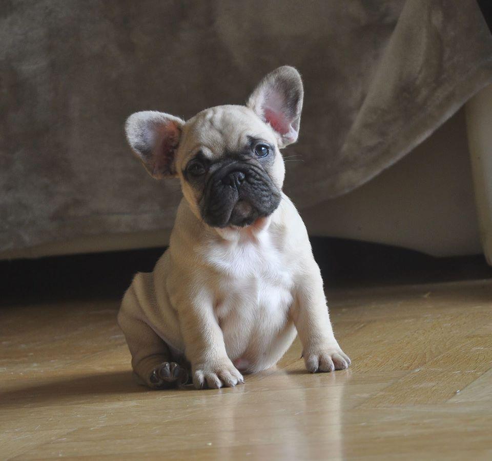 látás egy francia bulldogban)